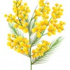 Slide 4: A sprig of wattle with green leaves and golden pom-pom shaped flowers.